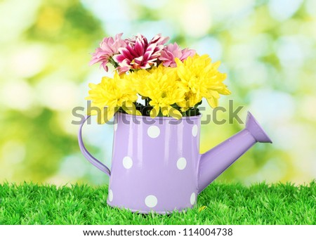 colorful chrysanthemums in violet watering can with white polka dot on green background