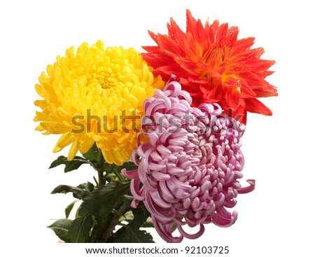Colorful chrysanthemums isolated on white