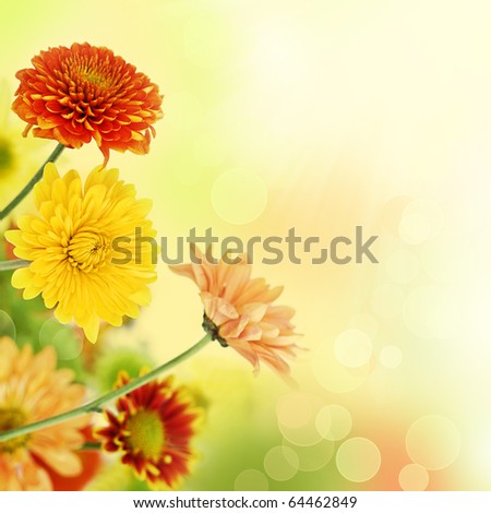 Colorful chrysathemum bouquet on warm, blurred bokeh background. Shallow DOF.