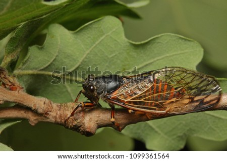 Colorful cicada on a close up horizontal picture. A rare species occurring in Southern Europe in its natural habitat.