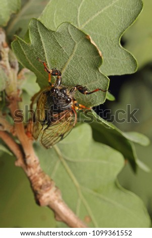 Colorful cicada on a close up vertical picture. A rare species occurring in Southern Europe in its natural habitat.