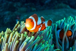 Colorful Clownfish hiding in their host anemone on a tropical coral reef