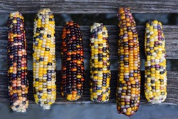 Colorful cob of ornamental corn are photographed from above and lie on wooden latters