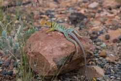 Colorful Collard Lizard on red rock in Colorado in USA. Animal stone ground.