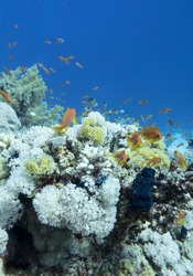 Colorful coral reef at the bottom of tropical sea, hard and soft coral, shoal of anthias fishes, underwater landscape