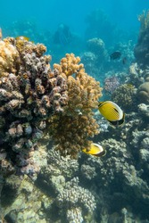 Colorful coral reef at the bottom of tropical sea, hard corals and butterflyfishes, underwater landscape