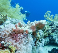 Colorful coral reef at the bottom of tropical sea, hard corals and sea sponge, underwater landscape