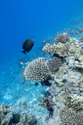 Colorful coral reef at the bottom of tropical sea, hard corals and shoal of athias fishes, underwater landscape