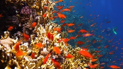 Colorful coral reef with shoal of red fish and divers on background
