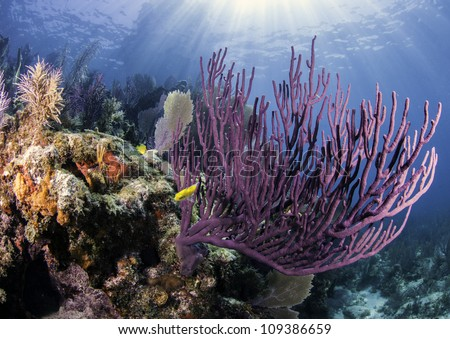 Colorful coral with blue water background and sun rays shining through the surface in Key Largo, Florida.