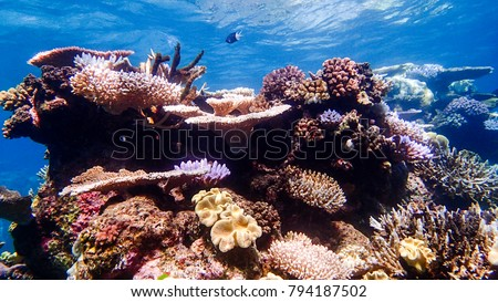 Colorful corals in shallow water at Outer Barrier Reef - Great Barrier Reef Australia  #794187502