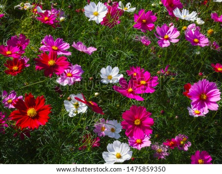Colorful Cosmos flowers (Cosmos Bipinnatus) Blooming in the Gentle Autumn Sunlight