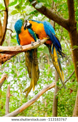 Colorful couple macaws kissing