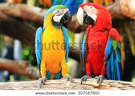 Colorful couple macaws sitting  on log.