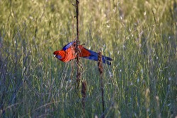 Colorful crimson rosella - native Australian parrot in a wild