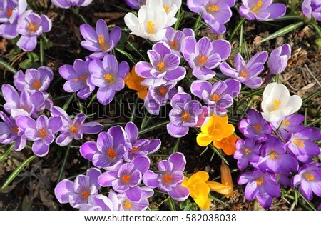 Colorful crocuses bloom in early spring.