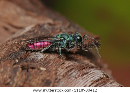 Colorful cuckoo wasp on a close up horizontal picture in its natural habitat. A common parasitic European species of Hymenoptera.