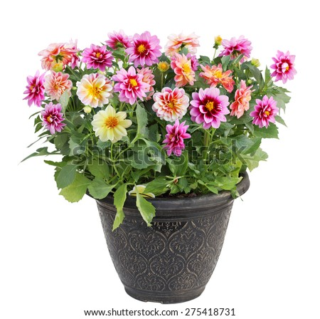 Colorful dahlia flower plant in pot isolated on white background
