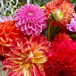 Colorful dahlia flowers, wallpaper backdrop. Red pink Dahlia flowers, top view wallpaper background. Blossoming dalias bloom