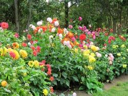 Colorful dahlias in the garden