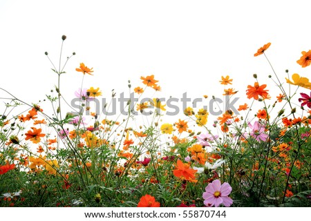 colorful daisies in grass field with white background