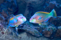 Colorful Daisy parrotfish (Chlorurus sordidus) on the tropical coral reef. Two males during the marriage period