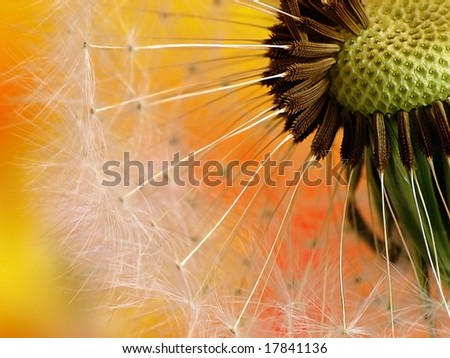 Colorful dandelion - stock photo