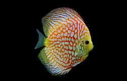 colorful discus (pompadour fish) on isolated black background. Symphysodon aequifasciatus is American cichlids native to the Amazon river, South America,popular as freshwater aquarium fish.