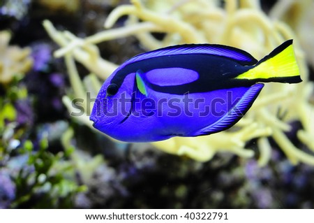"""Colorful Dori from """"Finding Nemo"""" swimming through coral reef"""