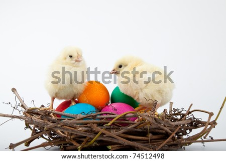 Colorful Easter eggs and two little chicks in a nest from branches on a white background, Spring Image.