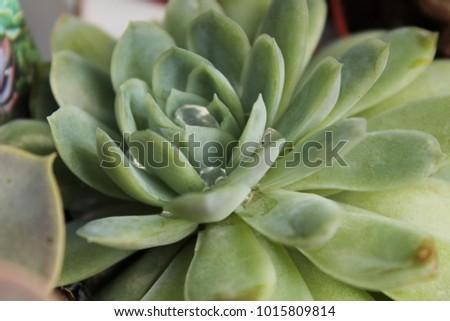 colorful echeveria plant in the ...