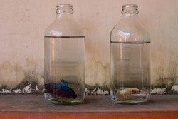 colorful exotic aggressive thai or siamese fighting fish for sale on a pet street market in small clear glass soda water bottles waiting for the new home