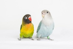 colorful exotic bird lovebird agapornis