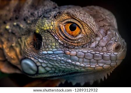 Colorful Eye of Iguana 2001022 - Exotic Reptile Animal Photo Collection