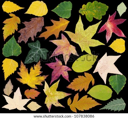 Colorful Fall Leafs Isolated on Black Background