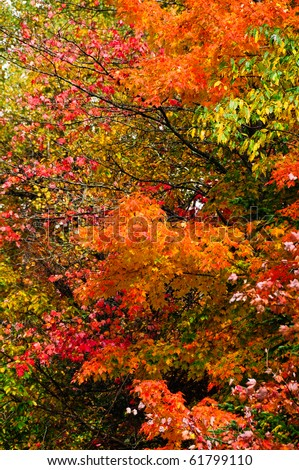 Colorful fall leaves with green leaves in the background