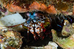 Colorful Fastest Puncher Peacock Mantis Shrimp Underwater Dwelling