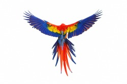 Colorful feathers on the back of macaw parrot, Scarlet macaw parrot