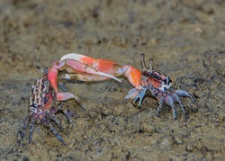 Colorful Fiddler crabs in the low tide mud. Bako park. Borneo.