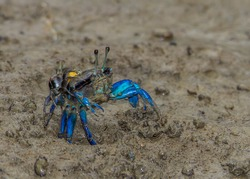 Colorful Fiddler crabs in the low tide mud Bako park Borneo
