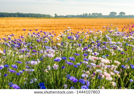 Colorful field margin on the edge of a newly harvested wheat field. In the Netherlands, field margins are subsidized by the government to promote biodiversity. The photo was taken in North Brabant. Foto d'archivio ©