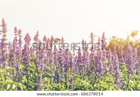 colorful field of blue salvia...