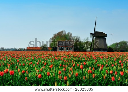 colorful field of tulips and windmill in the Netherlands