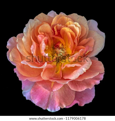 Colorful fine art still life bright floral macro flower portrait image of a single isolated orange wide open rose blossom, black background,detailed texture,vintage painting style