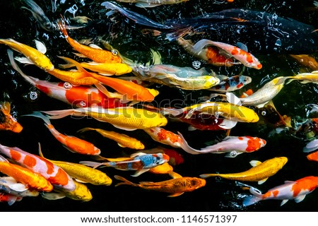 Colorful fish or carp or fancy carp, Fancy carp swimming at pond #1146571397
