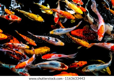 Colorful fish or carp or fancy carp, Fancy carp swimming at pond #1163633443