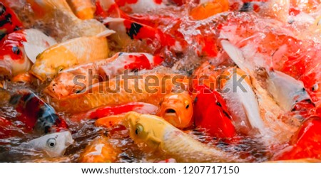 Colorful fish or carp or fancy carp, Fancy carp swimming at pond. #1207717150
