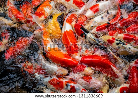 Colorful fish or carp or fancy carp, Fancy carp swimming at pond #1311836609