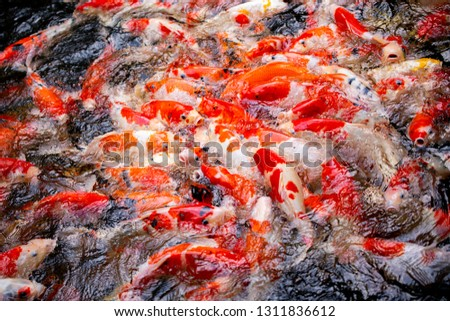 Colorful fish or carp or fancy carp, Fancy carp swimming at pond #1311836612