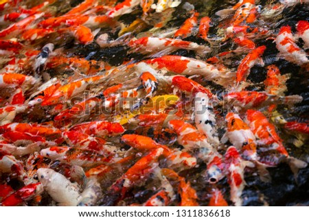 Colorful fish or carp or fancy carp, Fancy carp swimming at pond #1311836618